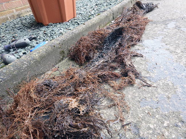 Tree Roots Removed From Drain